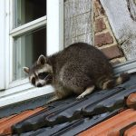 Tampa Raccoon