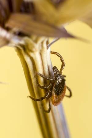 Ticks: A Royal Pain To Pest Control