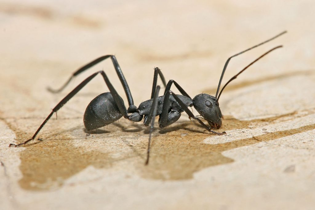 Getting The Low Down On Carpenter Ant Control