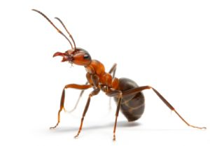 fire-ant1