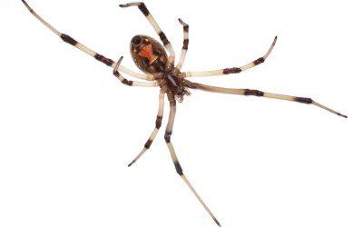 Black Widow Spiders Are No Joke