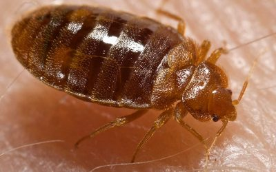 What are bedbugs and how they can be controlled?