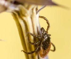 Ticks: A Royal Pain To Pest Control