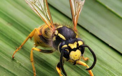 Wasp Control Via Pest Control