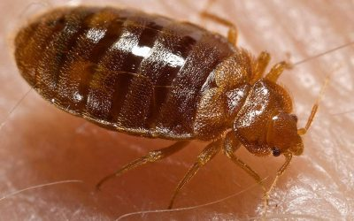 The Battle Over Bed Bugs With Genetic Pest Control