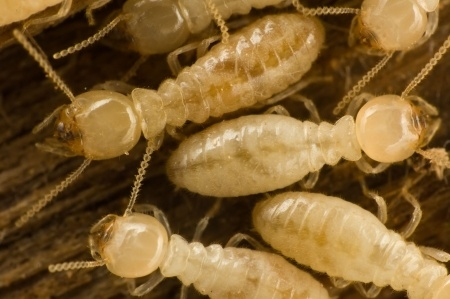 Identifying and Treating a Subterranean Termite Infestation